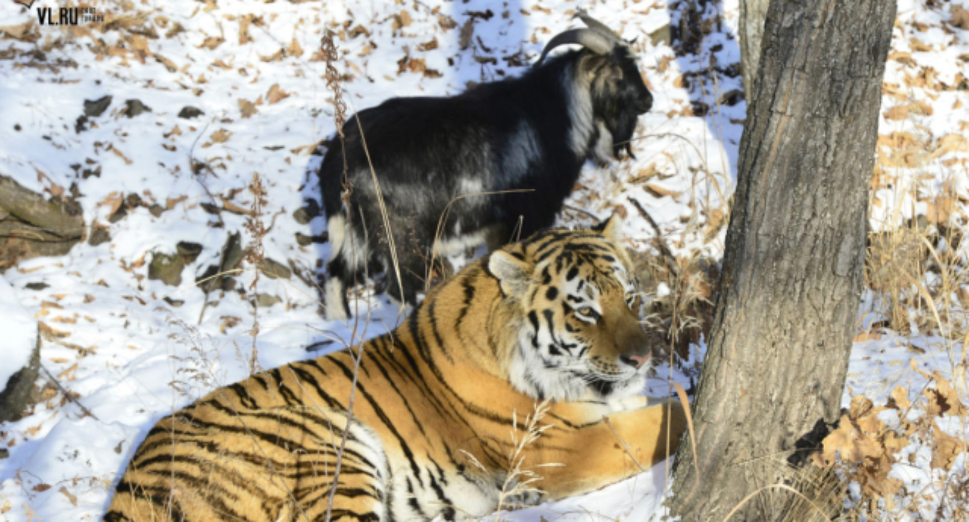 Russian politicians debate if this tiger and goat are 'promoting homosexuality'