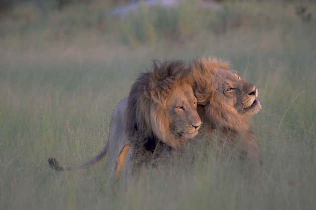 Male lions copulating, Botswana - 28 Mar 2016