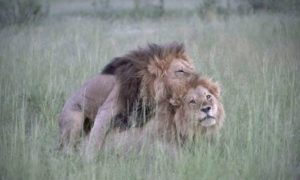 Photographer Captures Two Male Lions 'Mating' In Botswana