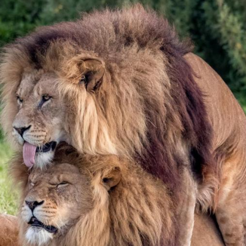 Two male lions photographed in… a particularly intimate situation