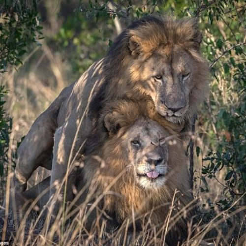 He's my mane man: Two lions spotted putting on rare public display of affection in Kenya