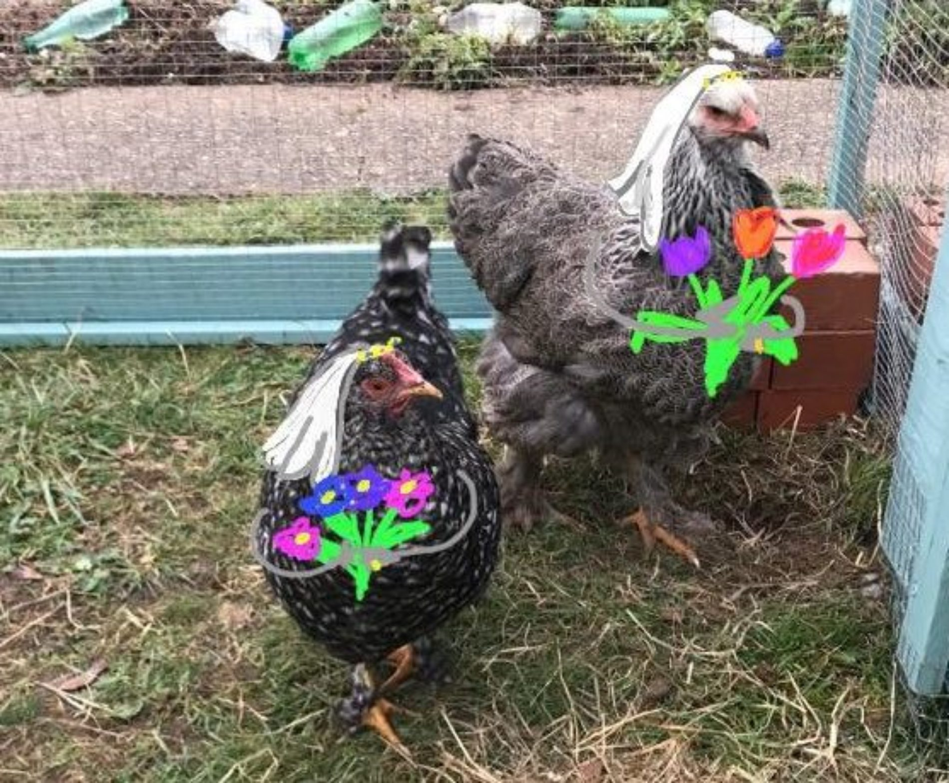 This woman realizes her chickens are in a lesbian relationship and it's an animal-farm love story